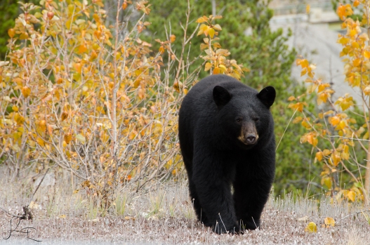 Got up close with a bear while we were driving home from Jasper!